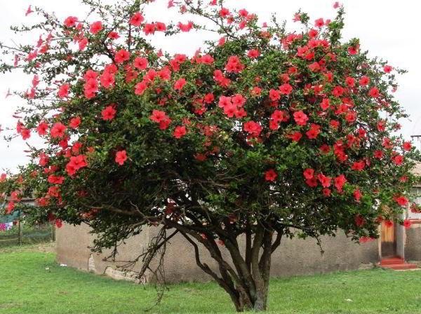 цветущие кустарники для сада фото 26