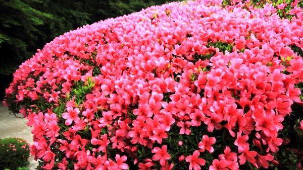 цветущие кустарники для сада фото 3