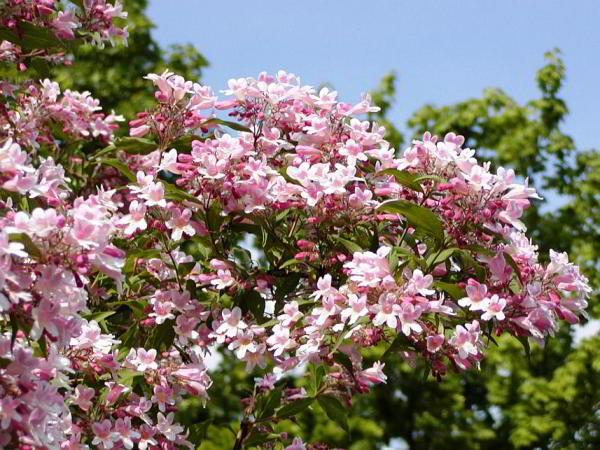 цветущие кустарники для сада фото 5