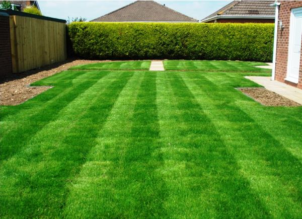 газонная трава фото 4