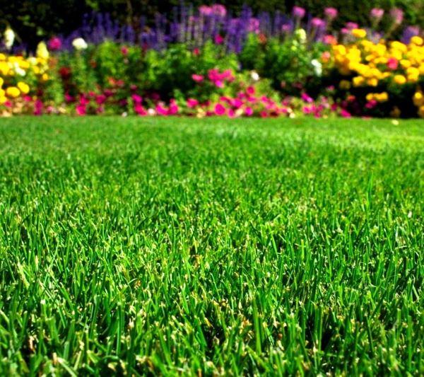 газонная трава фото 9