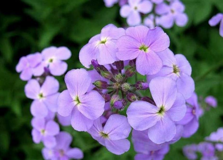низкорослые цветы для клумбы фото 10