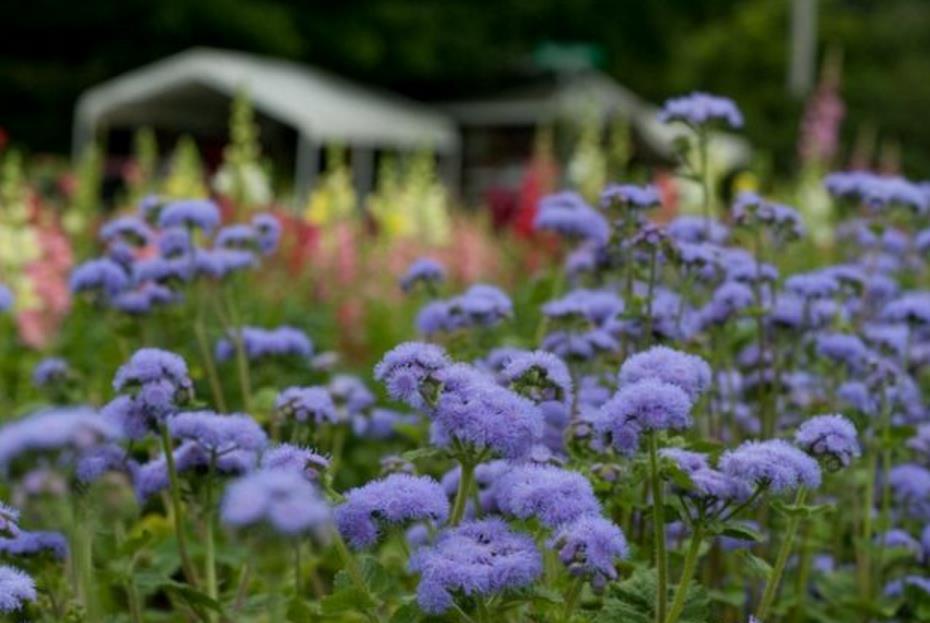 низкорослые цветы для клумбы фото 11