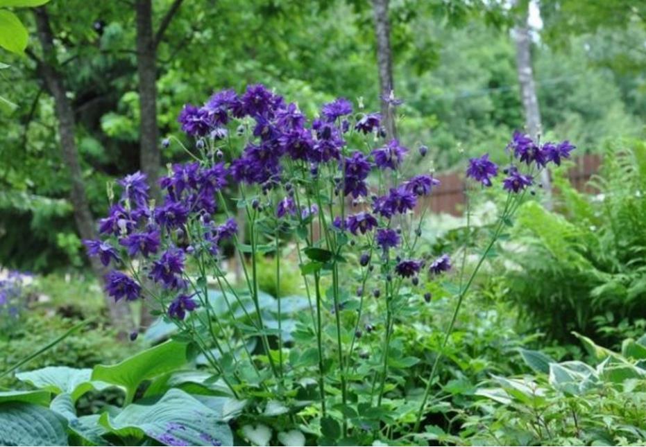 низкорослые цветы для клумбы фото 14