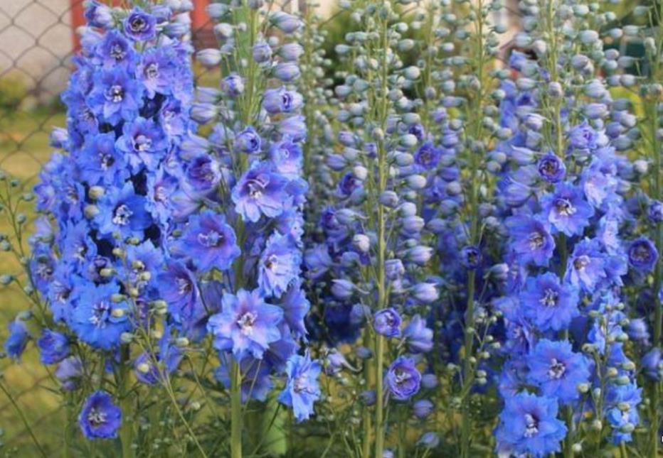низкорослые цветы для клумбы фото 15