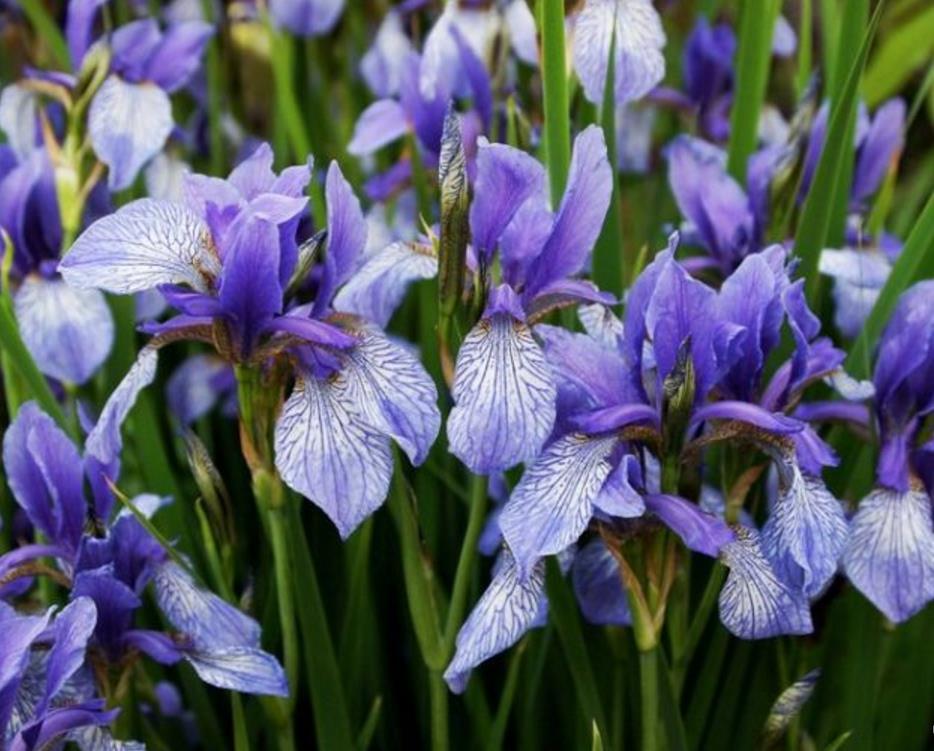низкорослые цветы для клумбы фото 17