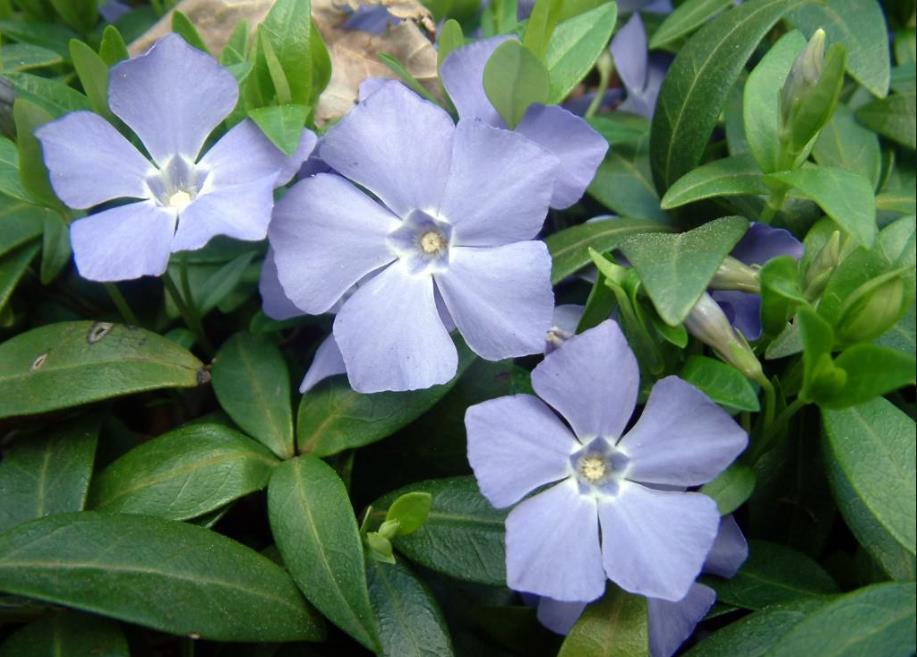 низкорослые цветы для клумбы фото 19