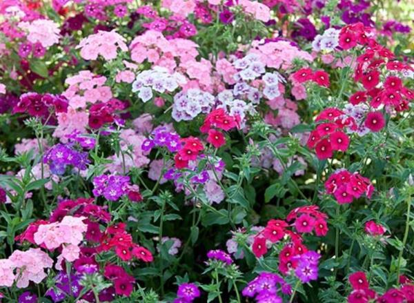 низкорослые цветы для клумбы фото 22