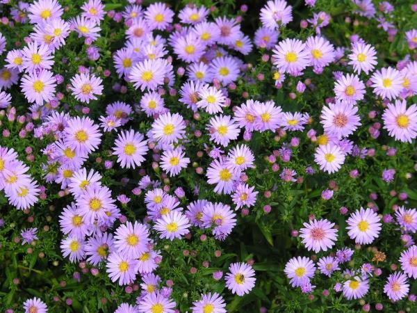 низкорослые цветы для клумбы фото 23