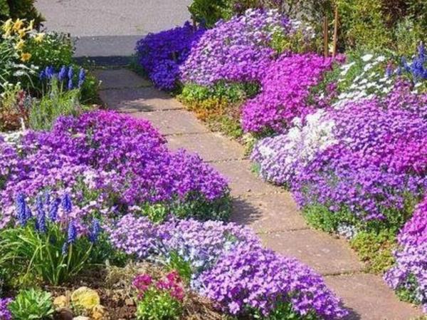 низкорослые цветы для клумбы фото 24