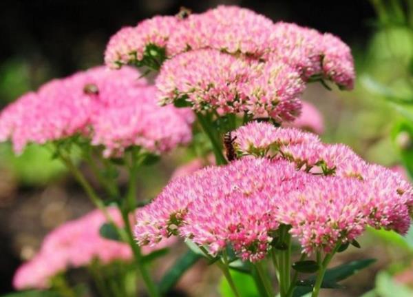 низкорослые цветы для клумбы фото 4