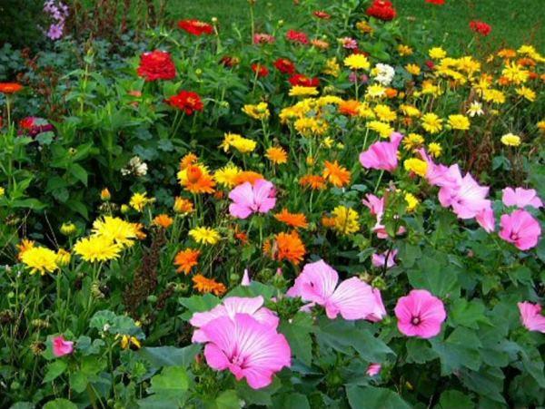 низкорослые цветы для клумбы фото 9